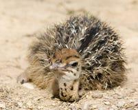 Страус младенца на грязи Стоковое Изображение
