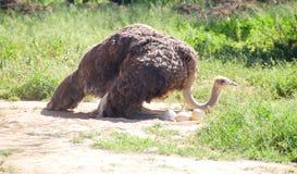 Страус на гнезде в Karoo Klein, Южная Африка Стоковые Изображения RF
