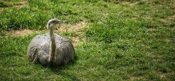 Страус на траве Стоковая Фотография
