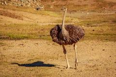 страус одичалый Стоковая Фотография RF