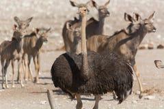 Страус перед группой в составе kudu стоковое фото rf