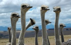 страус придурковатый стоковые фото