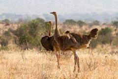 Страус стоя на африканской саванне на предпосылке высокорослых grasss Стоковая Фотография
