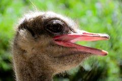 Страус страуса head стоковые фото