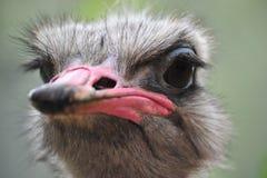 Страус страуса head Стоковые Изображения RF