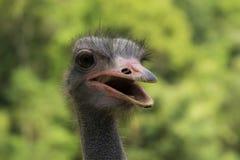 Страус страуса head Стоковая Фотография