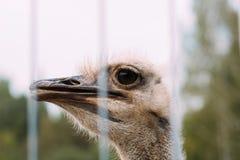 Страус страуса head Стоковое Изображение RF
