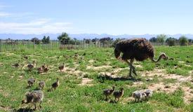 Страус с ее цыпленоками в поле Стоковое Изображение RF