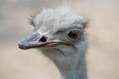 страус Стоковые Фото