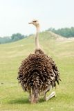 страус Стоковая Фотография RF