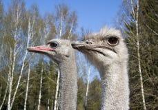 страус 2 фермы Стоковые Фото