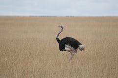 страус Стоковые Фотографии RF