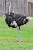 Страус (camelus Struthio) Стоковые Фото