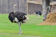 Страус (camelus Struthio) Стоковое Изображение RF