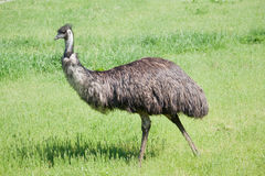 страус emu Стоковая Фотография RF
