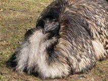 страус emu Стоковые Изображения