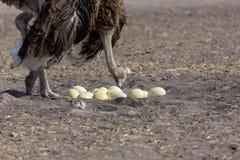 Страус gaurding свои яичка Стоковое Изображение RF