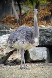 страус nandu 3 Стоковая Фотография