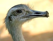 страус nandu 7 Стоковые Фотографии RF
