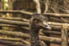 Страус wildlife Конец-вверх головы страуса на запачканном bac стоковые фотографии rf