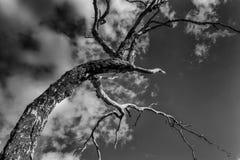 Страшное дерево которое выглядеть как чучело стоковая фотография rf