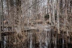 Страшный неурожайный лес болота Стоковая Фотография