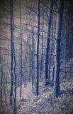 Страшный сосновый лес Стоковое Фото