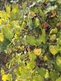 Страдая виноградины Стоковое Изображение
