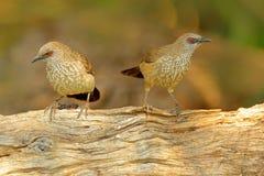 Стрелк-маркированный пустозвон, jardineii Turdoides, деталь экзотической серой африканской птицы с красным глазом в среду обитани стоковые фотографии rf