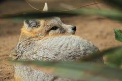 Стремительная лисица Стоковое Изображение