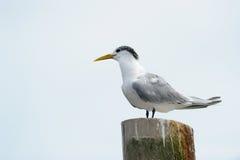 стремительный tern Стоковая Фотография
