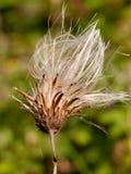 Стренги головы цветка белизны thistle молока в marianu Silybum лета Стоковое Фото