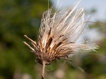 Стренги головы цветка белизны thistle молока в marianu Silybum лета Стоковая Фотография RF