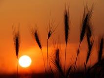 Стренги травы в свете захода солнца Стоковое Изображение