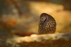 Стрелк-маркированный пустозвон, jardineii Turdoides, деталь экзотической серой африканской птицы с красным глазом в среду обитани Стоковое Фото