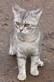 Строгий котенок Стоковое Изображение RF