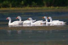 Строка белых отечественных гусынь плавая на пруде Стоковые Фото