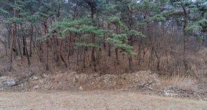 Строка вечнозеленых деревьев на крае лиственного леса Стоковые Изображения