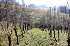 Строка виноградника на холодный зимний день Стоковое Изображение
