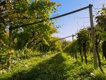 Строка виноградного вина во время захода солнца в осени Стоковая Фотография