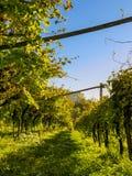 Строка виноградного вина во время захода солнца в осени Стоковые Изображения