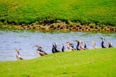 Строка гусыни Egyption на озере Saadiyat стоковое изображение