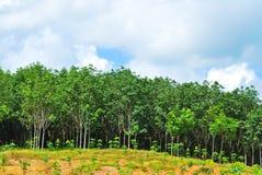 Строка дерева para резинового Стоковые Фотографии RF