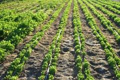Строка заводов в аграрном поле огорода в Baja, Мексике Стоковое Изображение RF