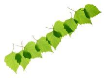 Строка зеленых листьев березы Стоковое Фото