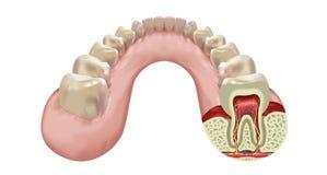 Строка зубов нижней челюсти человеческая иллюстрация вектора