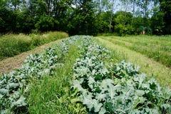 Строка листовой капусты Стоковое Фото