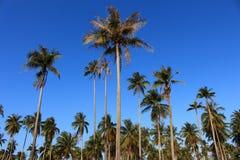 Строка лист зеленого цвета кокосовой пальмы и голубого неба Стоковое Фото