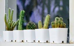 Строка кактуса в малые белые баки окном когда дождь Стоковые Фотографии RF