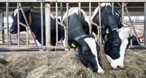 Строка коров Гольштейна подает от высушенной травы внутри амбара на голландской ферме в Голландии Стоковое Изображение